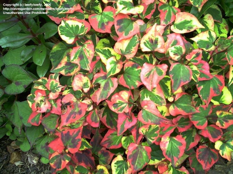 Image result for chameleon plant