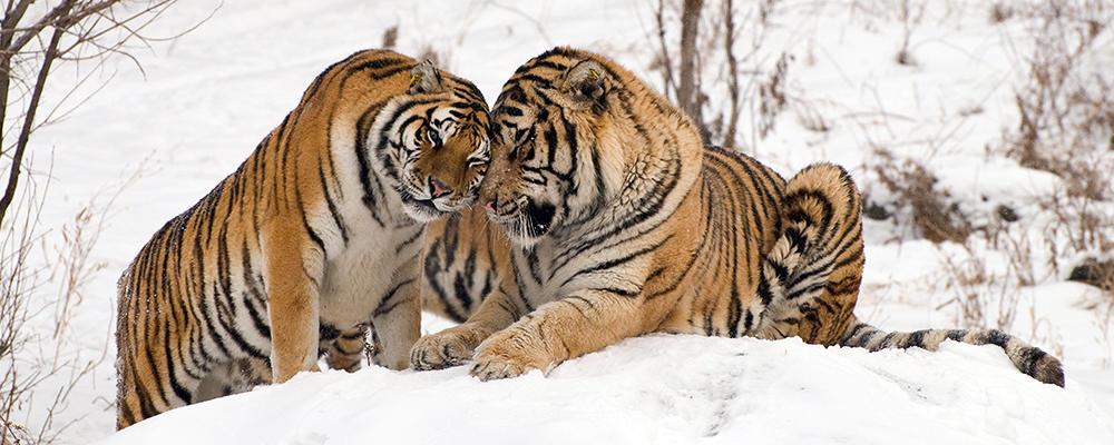 Image result for amur tiger