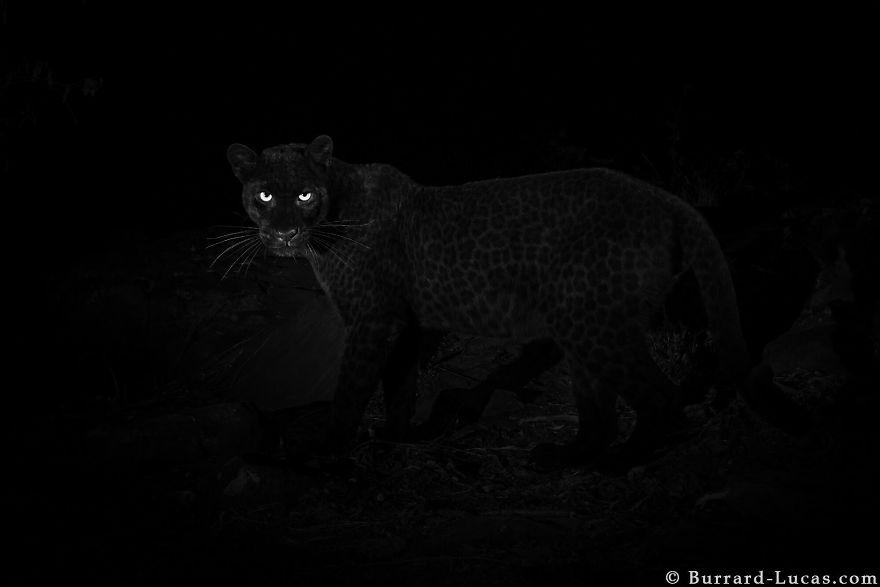 5c6589ab2340c-rare-black-leopard-photos-first-time-100-years-will-burrard-lucas-kenya-africa-1-5c6416a9ddd7d-jpeg__880.jpg