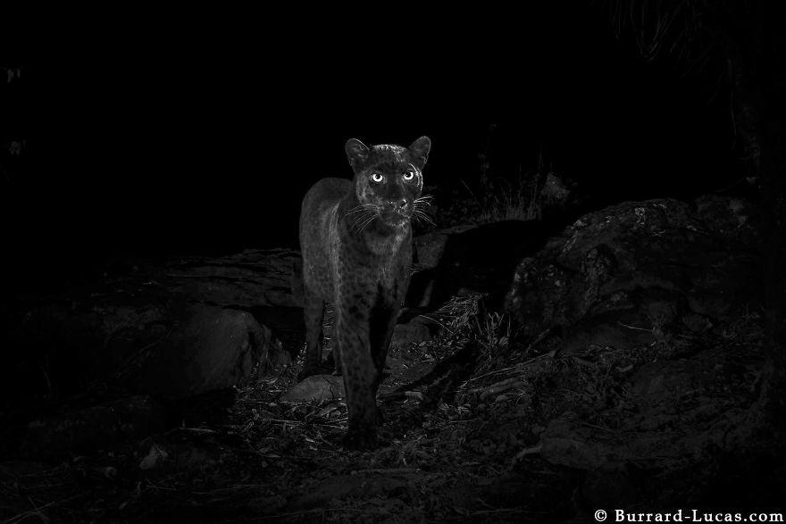 5c6589ab919bb-rare-black-leopard-photos-first-time-100-years-will-burrard-lucas-kenya-africa-5c641cc3c7d13__880.jpg