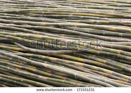 stock-photo-bamboo-is-a-grass-family-tree-a-tall-very-utilized-by-many-leaves-also-become-food-for-the-pandas-171551231.jpg