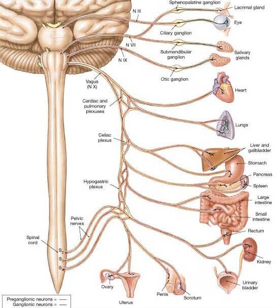 vagus-nerve-branches-vagus-nerve-locatio
