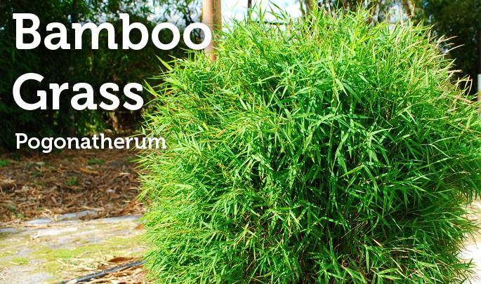 bamboograss.jpg