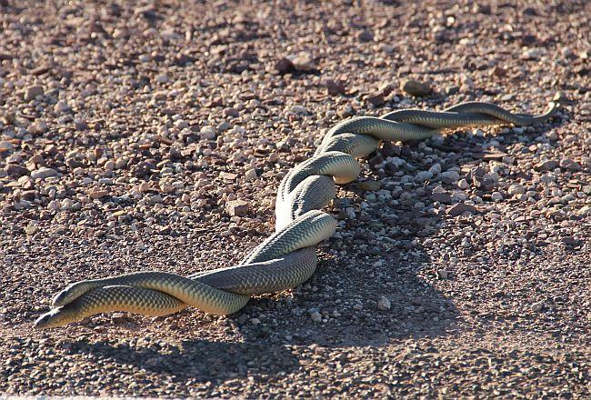 snakes_mating.jpg