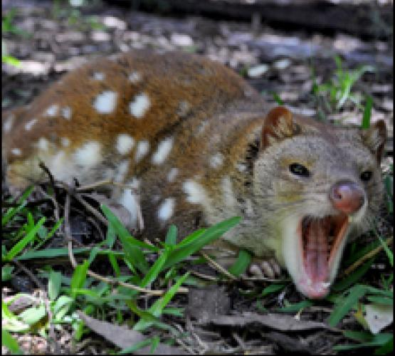 spotted-tail-quoll-caversham-wildlife-pa