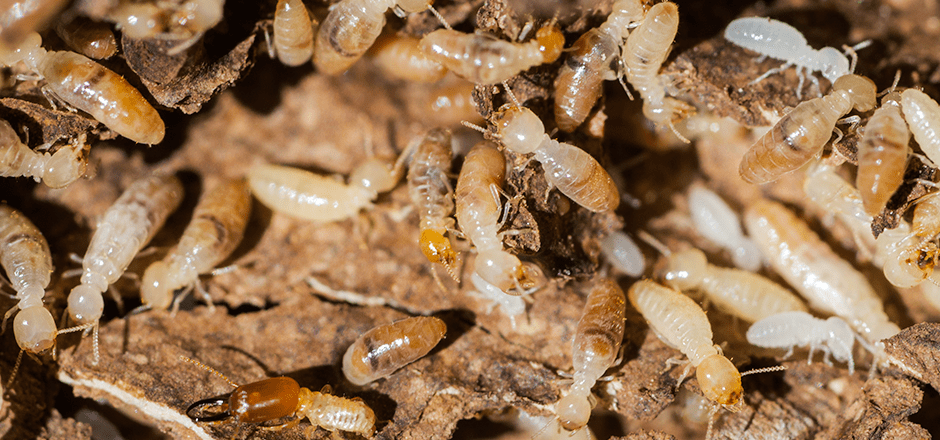 termites-near-home.png