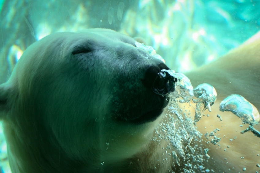 polarbearunderwaterseaworld.jpg?w=848