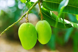 Image result for mangoes and woman