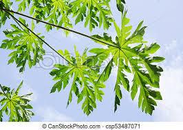Image result for papaya leaf stem