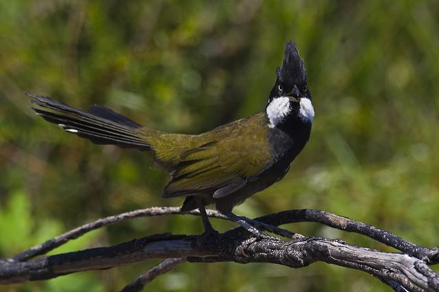 Image result for eastern whip bird