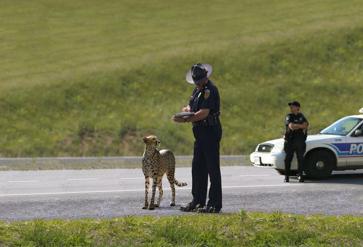 cheetah getting booked | Speeding tickets, Funny pictures, Current movies