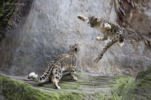 "Image result for snow leopard jump"""