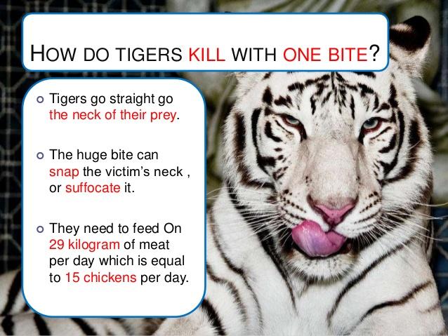 white-tiger-10-638.jpg?cb=1375319941