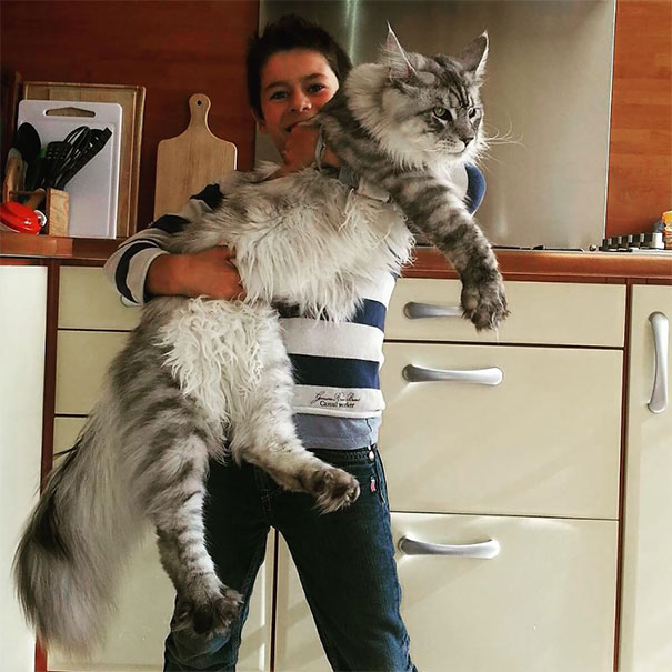 01-huge-cats-maine-coon-tiny-owners.jpg