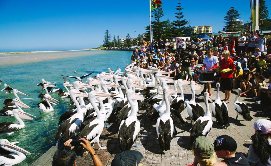 The-Entrance-Pelican-Feeding-Image-DNSW.