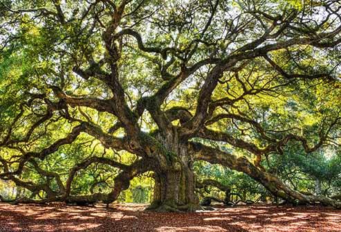 493ss_thinkstock_rf_oak_tree.jpg