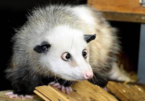 heidi_opossum_0.jpg.696x0_q80_crop-smart