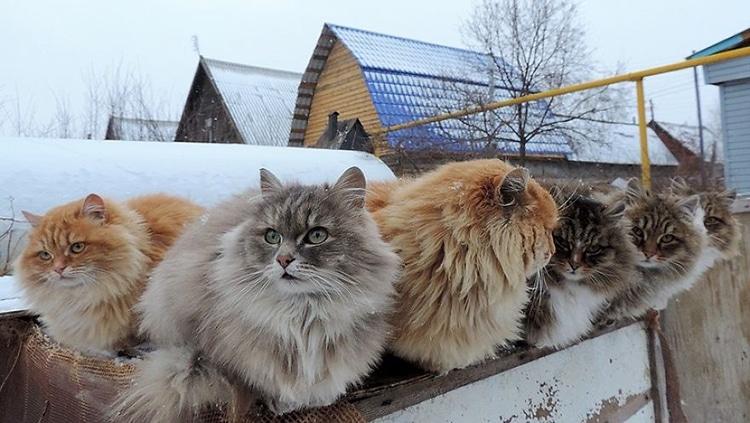 Millionsâ of Majestic Siberian Cats Live in Couple's Farm-Turned-Catland
