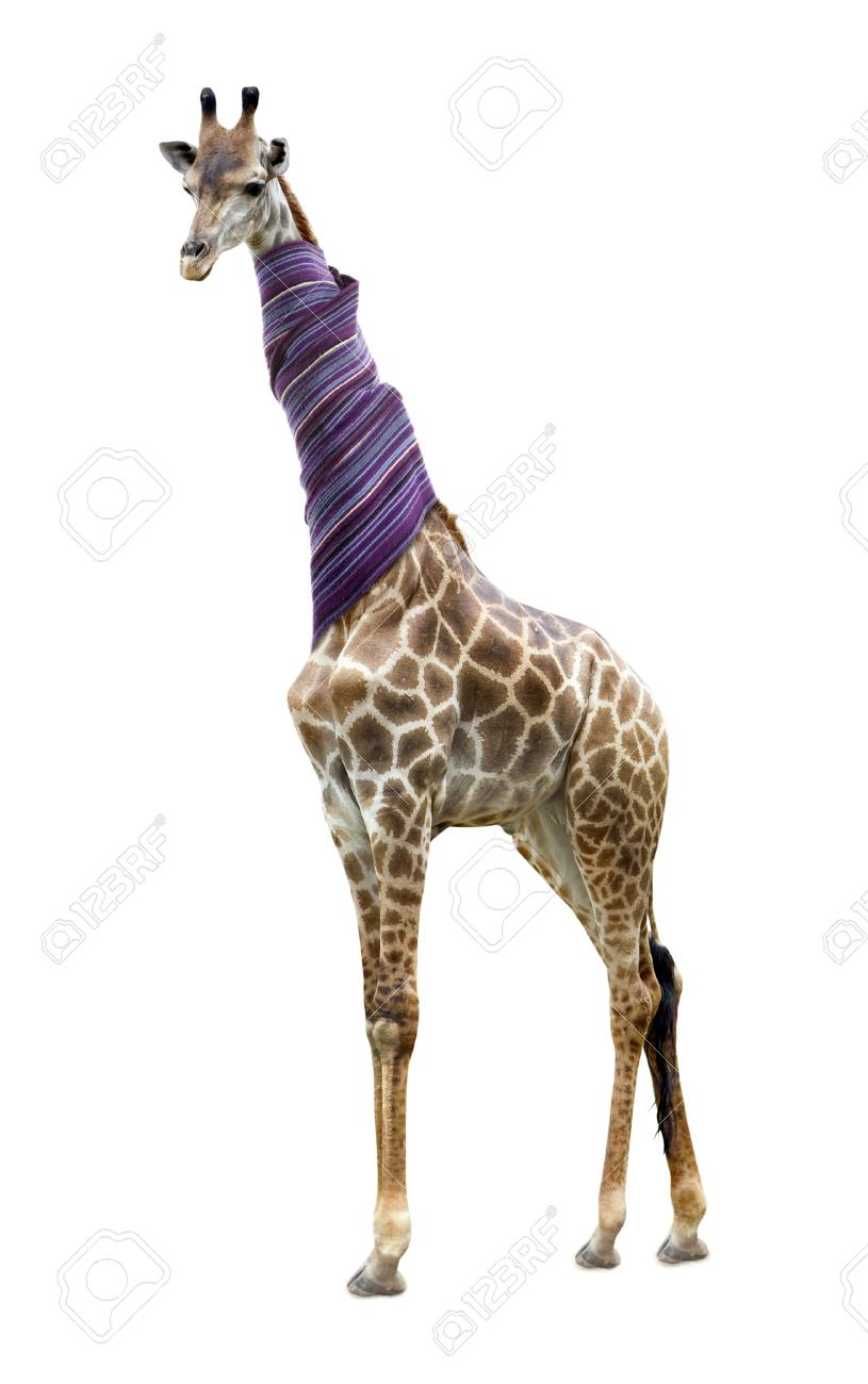 46179194-giraffe-in-a-scarf-isolated-on-