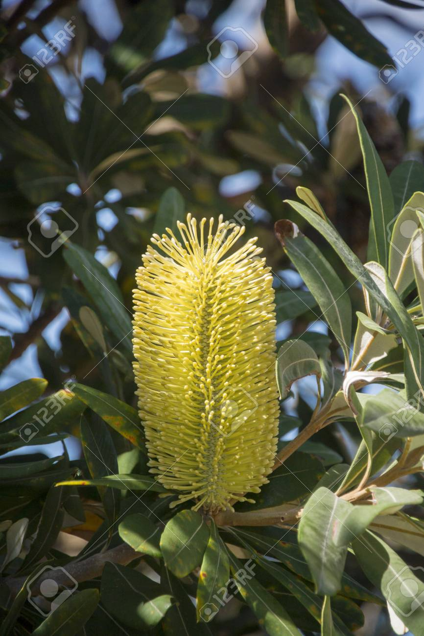 102431477-yellow-banksia-flower-and-foli
