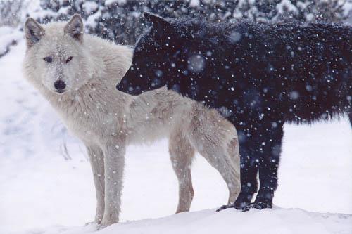 wolvestwo.jpg&f=1