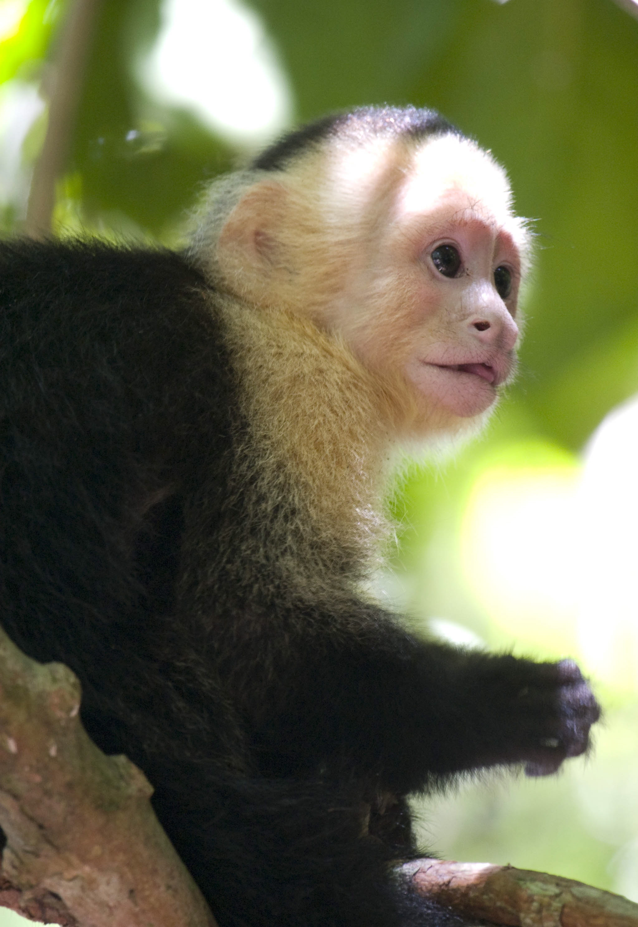Image result for capuchin pet price costa rica