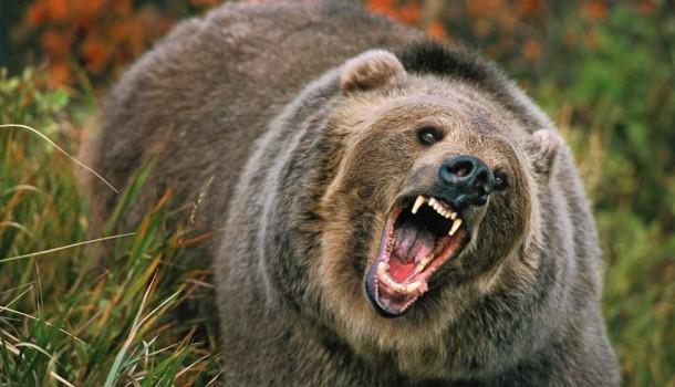 Grizzly-bear-610x350-2015060118471433184