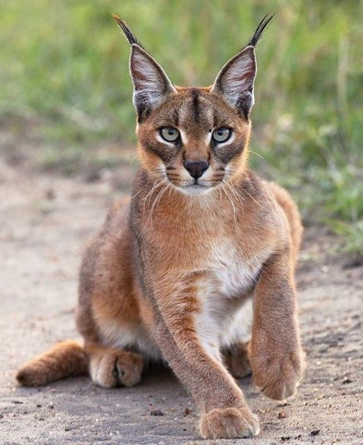 May be an image of big cat and outdoors