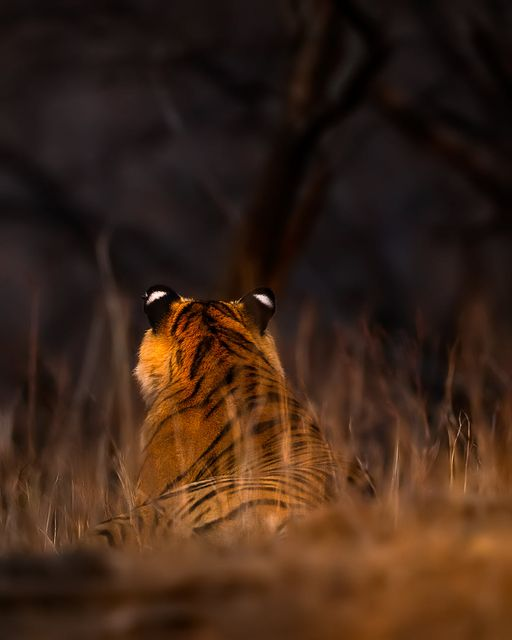 May be an image of big cat and nature