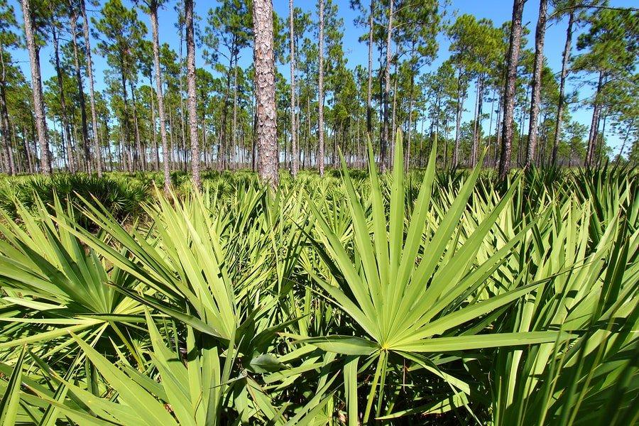 bigstock-Saw-Palmetto-And-Pine-Flatwood-