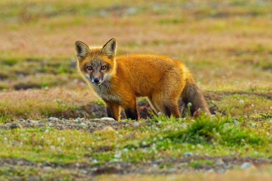 wildlife-photography-eagle-fox-fighting-over-rabbit-kevin-ebi-11-5b0661f866c0c__880.jpg