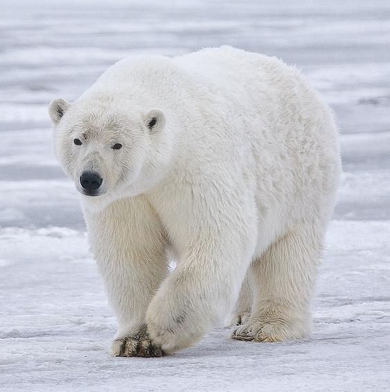 Polar_Bear_-_Alaska_(cropped).jpg