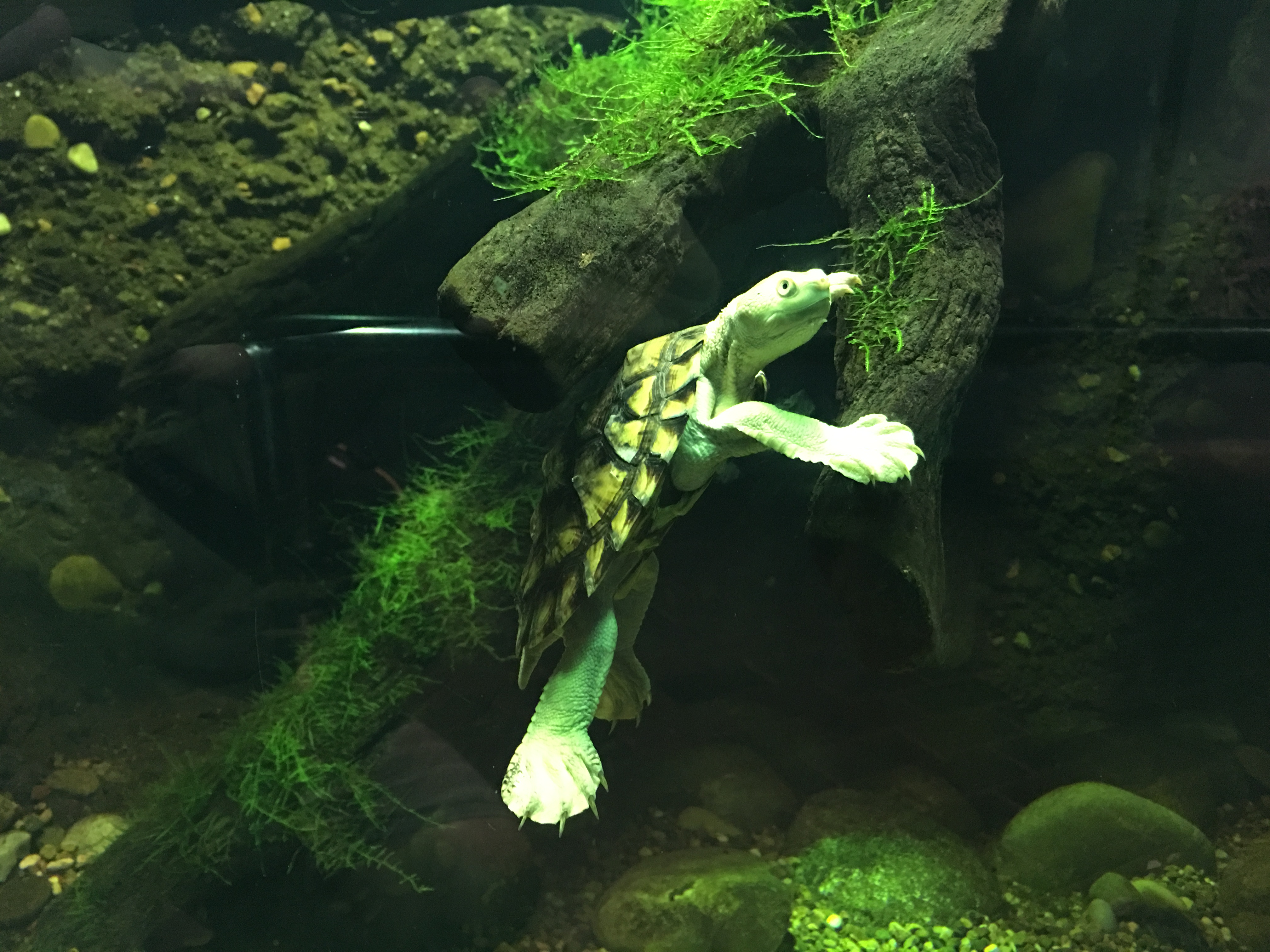 Bellinger_River_turtle_01_Taronga_2020-0