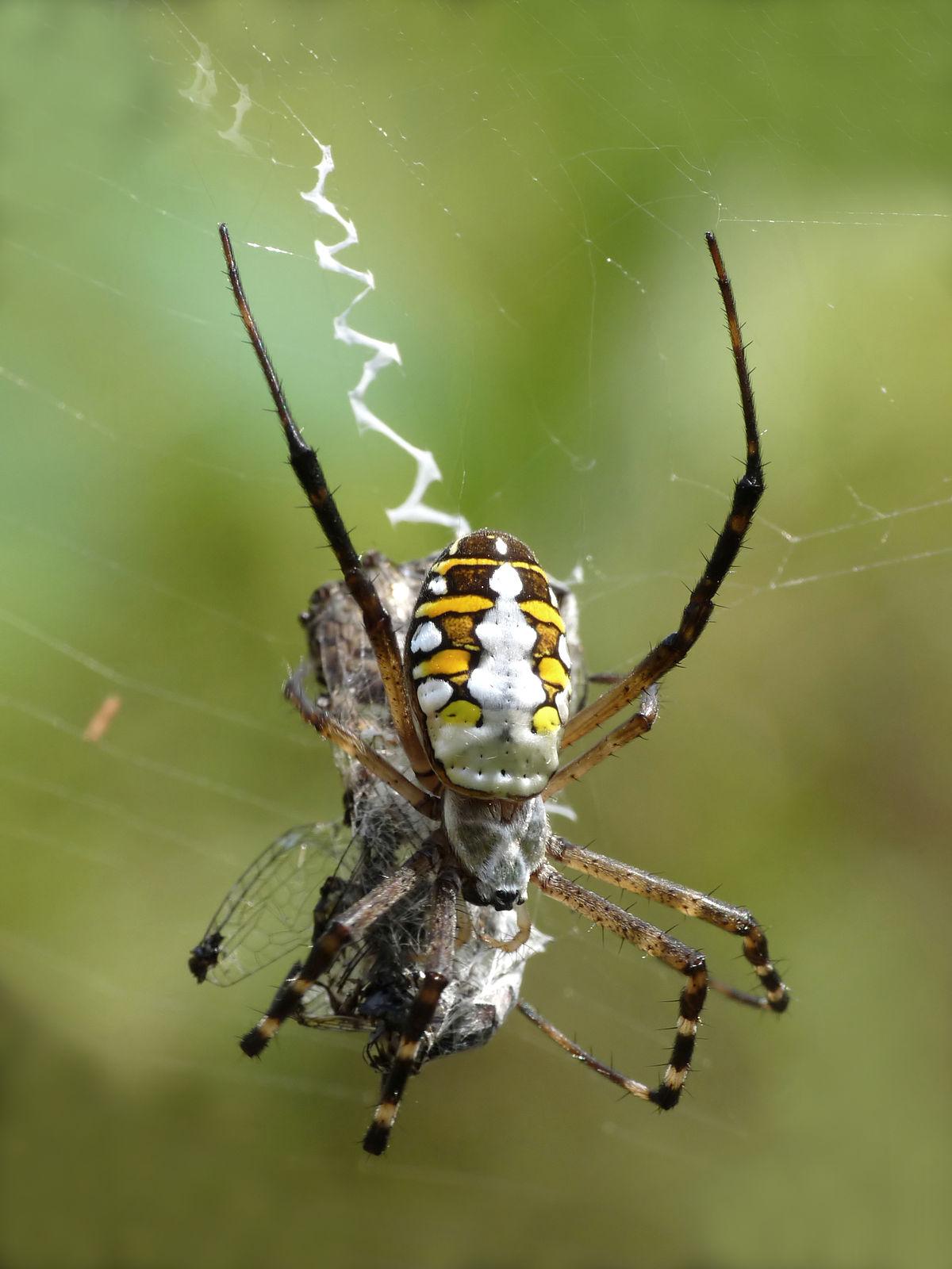 Image result for orb spider in web