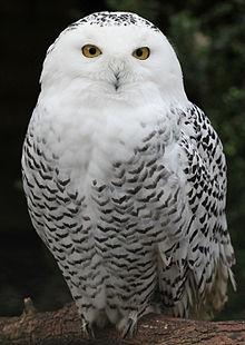 220px-Snowy_Owl_-_Schnee-Eule.jpg
