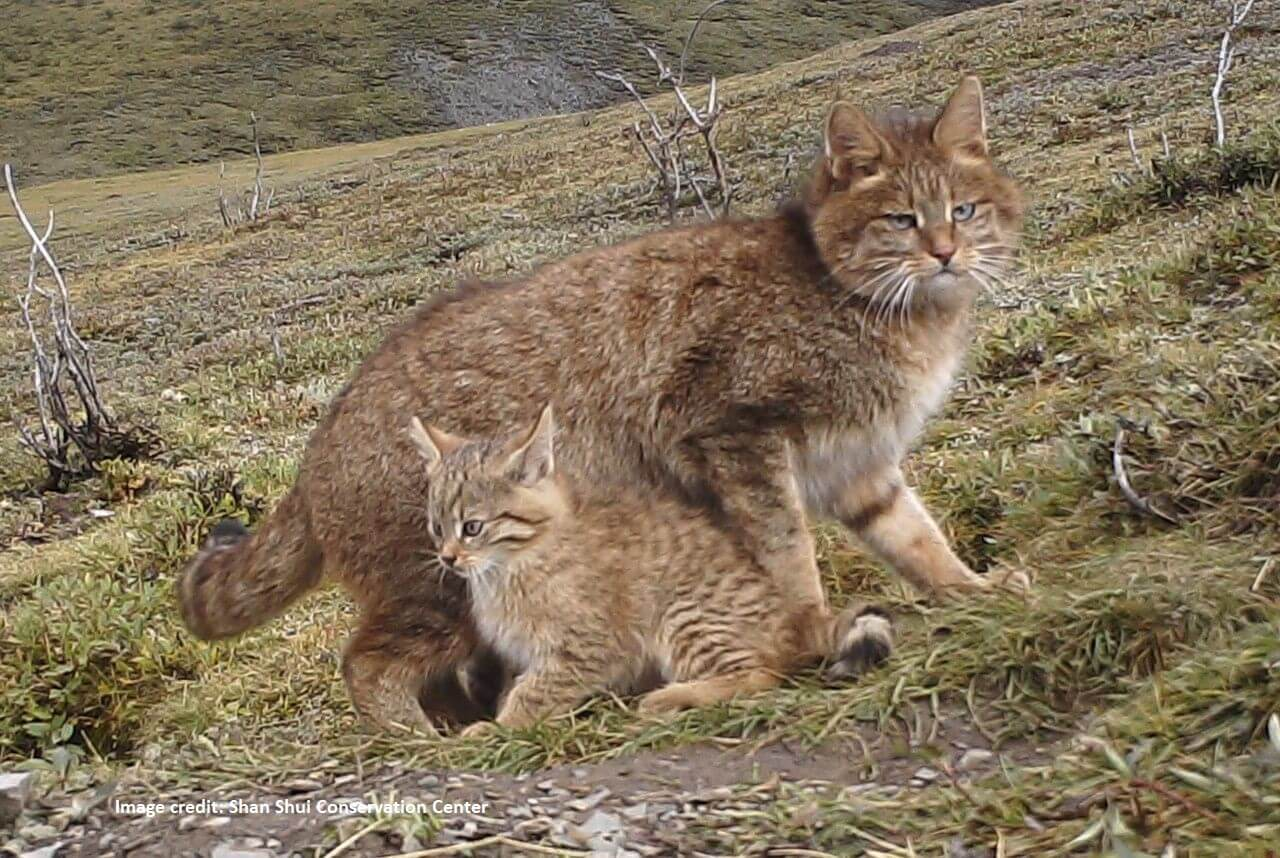 Chinese Mountain Cat - International Society for Endangered Cats (ISEC)  Canada