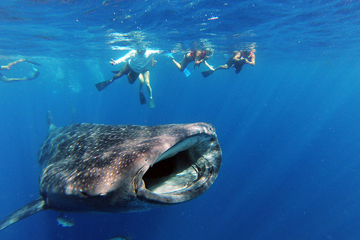 whale-sharks-in-cancun-swim-isla-mujeres