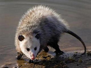 opossum-c-david-cappaert-michigan-state-