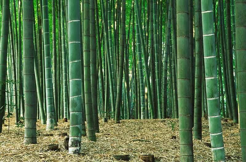 bamboo_10surprising.jpg?h=528&la=en&w=800&hash=B8D4B798DF460BA910B5E9FC12431B77F9DCFDD3