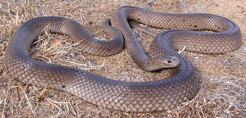 Dugite-or-Spotted-Brown-Snake-from-Red-H
