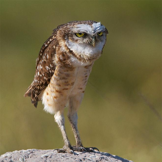 long-owl-legs1.jpg