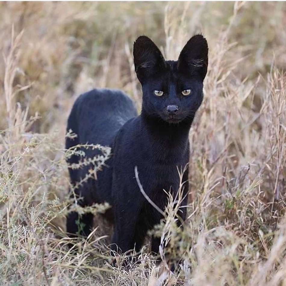 Extremely Rare Black Serval Spotted In The Wild