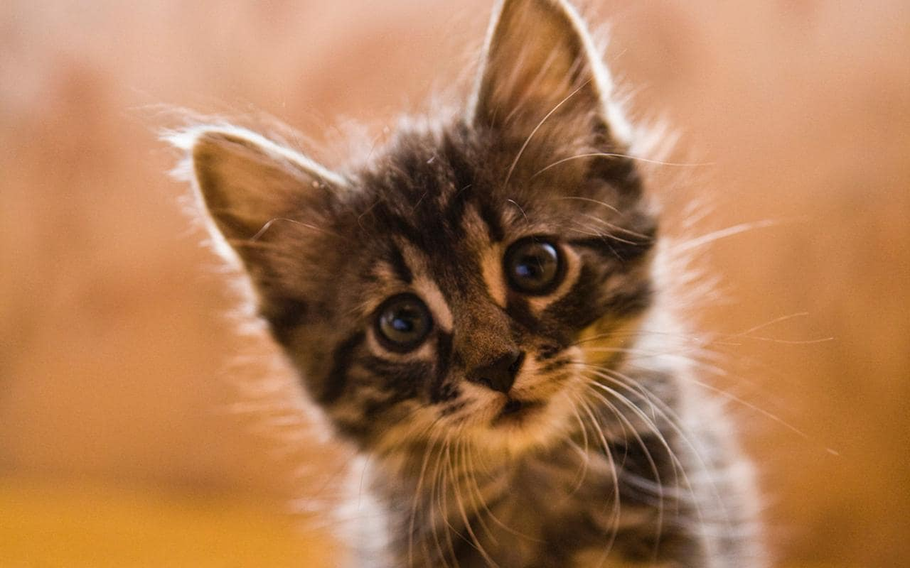 tabby-kitten-small-xlarge.jpg