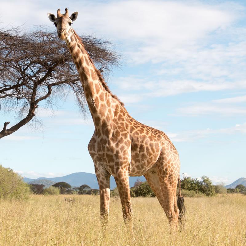 giraffesmall.jpg