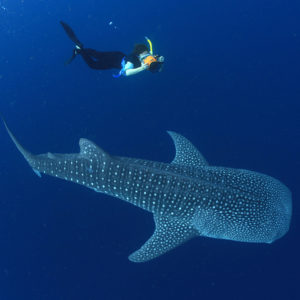 The-Whale-Sharks-of-Cenderawasih-Bay-day