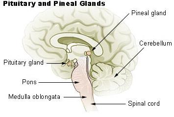 pituitary_pineal_glands.jpg.5fde75f438cd55db4a35d19bc322116d.jpg