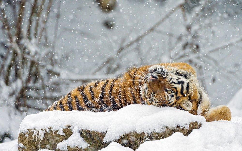 tiger-rolling-in-snow-33722-2560x1600.jpg