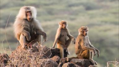 baboons meditating.jpg