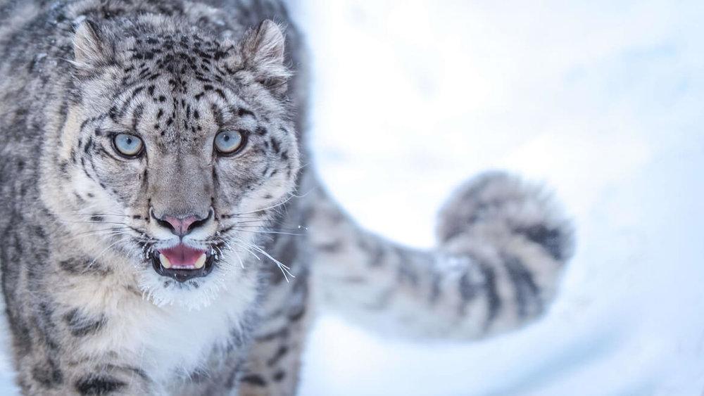 5db0ac9b36857_Snow-Leopardstare.thumb.jpg.012324d9d6341dab199bea61ef0f4fea.jpg