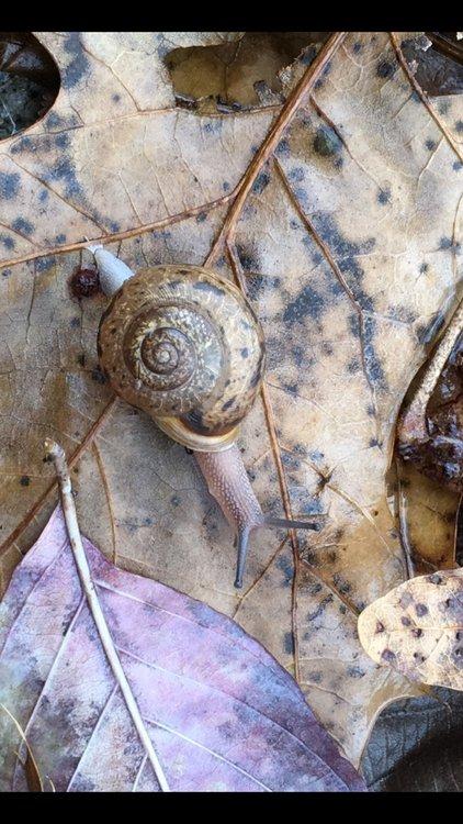 Snail.thumb.jpg.58bc9e4a24f6c4f62cca869615613d4d.jpg